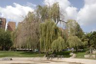 Los árboles del parque Aluche se mueren ante la indiferencia del Ayuntamiento